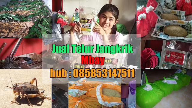 Jual Telur Jangkrik Mbay Hubungi 085853147511