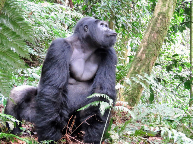 Alpha male silverback gorilla of the Nkuringo family in Uganda