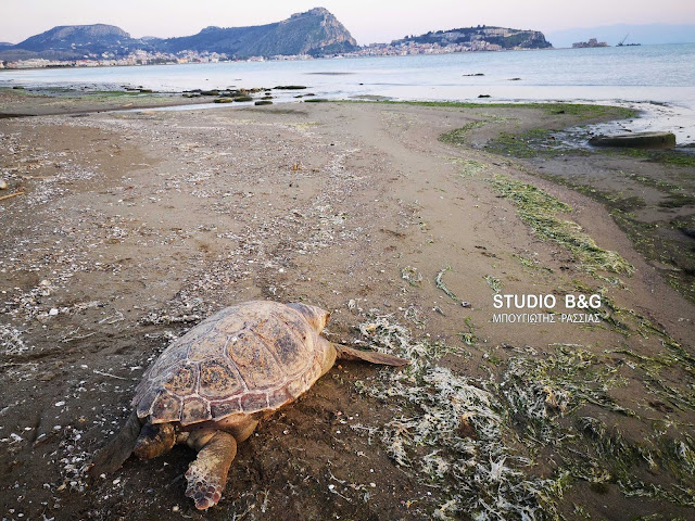 Νεκρή θαλάσσια χελώνα στο Ναύπλιο