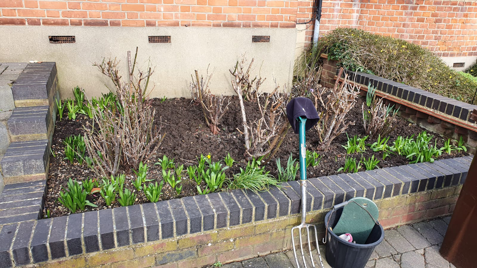 A  flower bed containing shrub roses and spring bulbs after being weeded, winter 2020