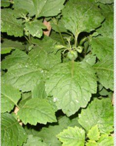 Manfaat daun nilam