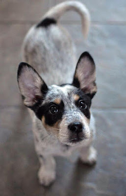 Blue heeler chihuahua mix Temperament, Size, Adoption, Lifespan, Price