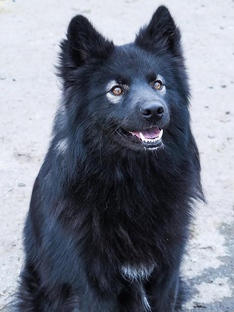 Obiwan, Finnish Lapphund