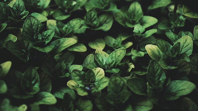 Angelic Basil Tea | Are There fitness benefits?