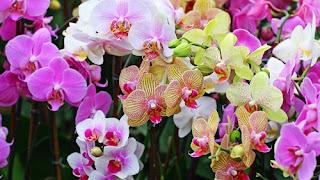bunga-anggrek-surabaya12
