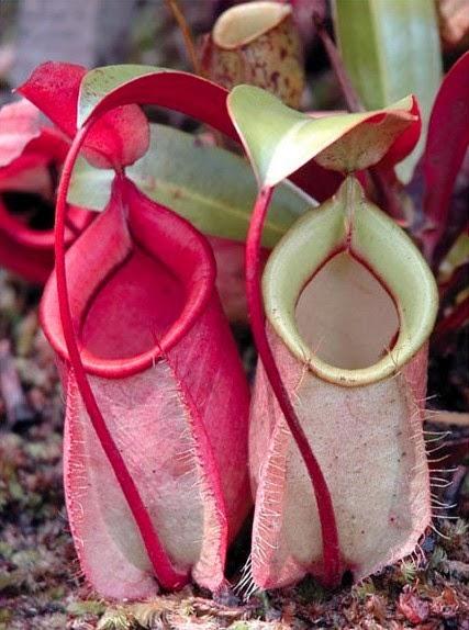 Gambar Flora Fauna Indonesia Kantong Semar Macam Jenis Flora Langka Nusantara