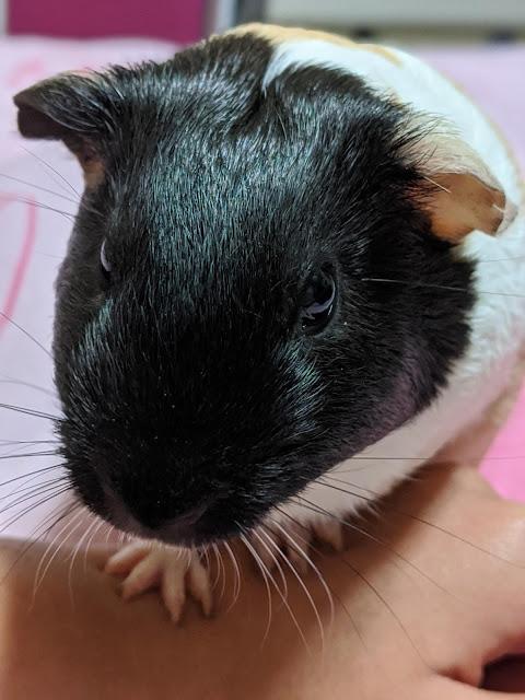 Guinea Pig Paulanka