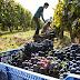 Importante baja registra la producción de vinos en 2020 por prolongada sequía