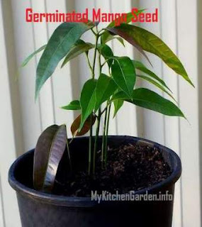 Many baby shoots from the germinated Kensigton mango seed