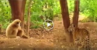 Trolling από Μαϊμού σε 2 Τίγρεις