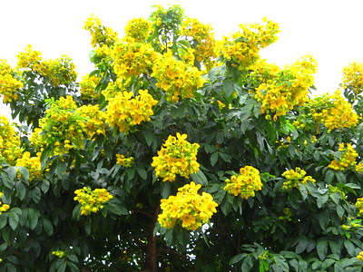 árvore_fedegoso_florida