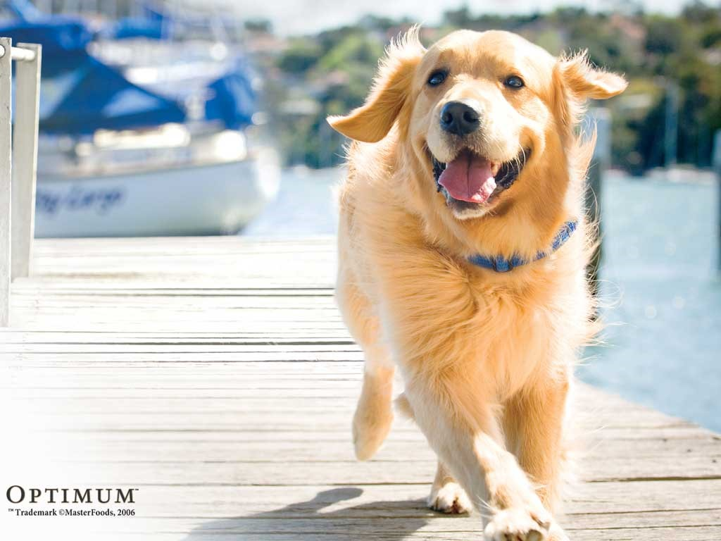 Golden Retrievers - Pets Cute and Docile
