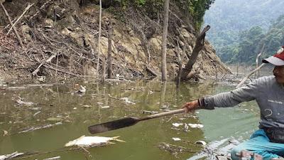 Hulu Batang Maek Tercemar, Ribuan Ikan Mati