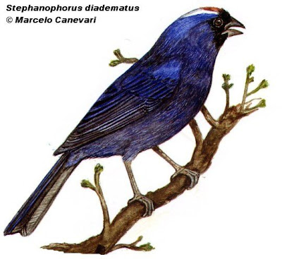 Frutero azul Stephanophorus diadematus