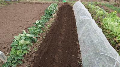 培土器で作った畝と畝との間は狭い