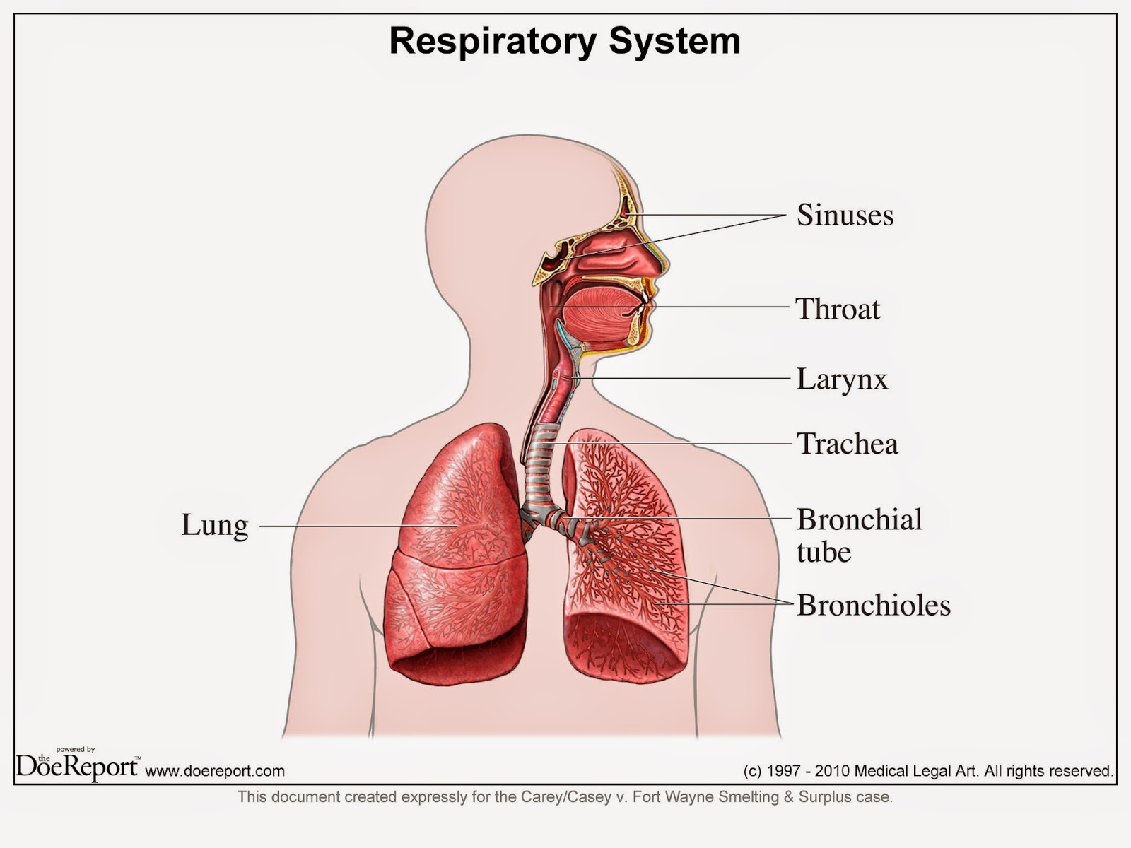 hight resolution of the organs include the sinuses throat larynx trachea bronchial tube lungs nose and bronchioles without these breathing would become extremely