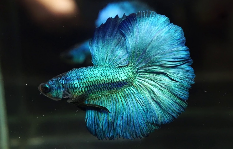 Ikan Cupang Turquoise Betta - Ikanhiasku.net