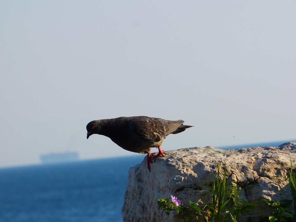 A pigeon looking hesitantly down from the edge of a cliff. A sea and a remote boat are seen in the background.
