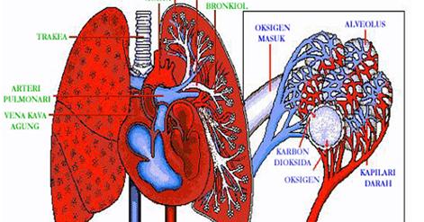 Cara mencegah dan mengobati paru-paru basah secara Alami ...