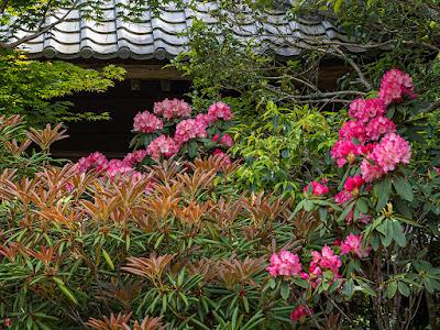 Shakunage (Rhododendron metternichii) flowers: Kaizo-ji
