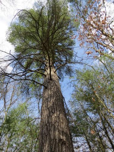 old white pine