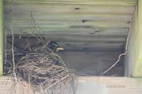 American robin on nest under a house deck – Summerside, PEI – June 21, 2017 – © Marie Smith