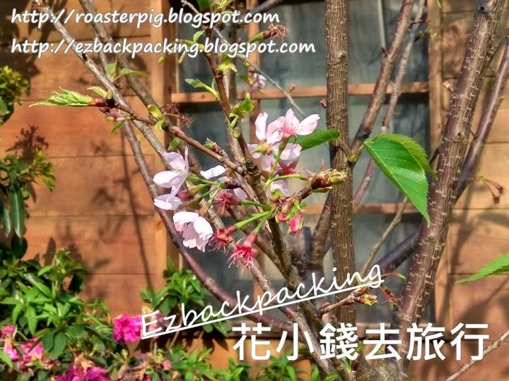 2021年香港花展櫻花
