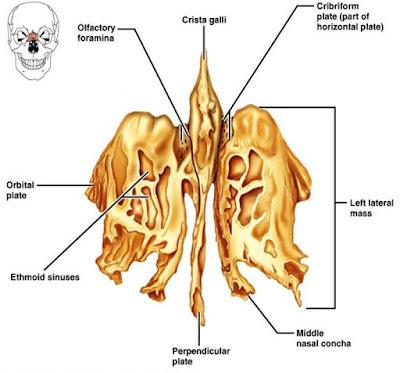 tulang pneumatika