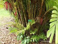 Tiger palm stem and fruits - Ho'omaluhia Botanical Garden, Kaneohe, HI