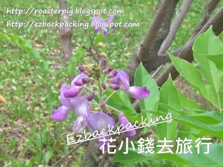 沙田公園紫藤花