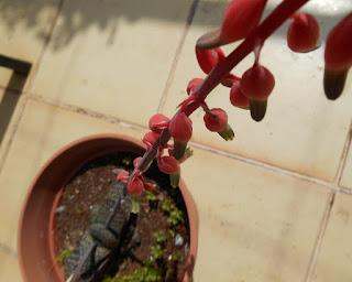 planta crasa gasteria pillansii