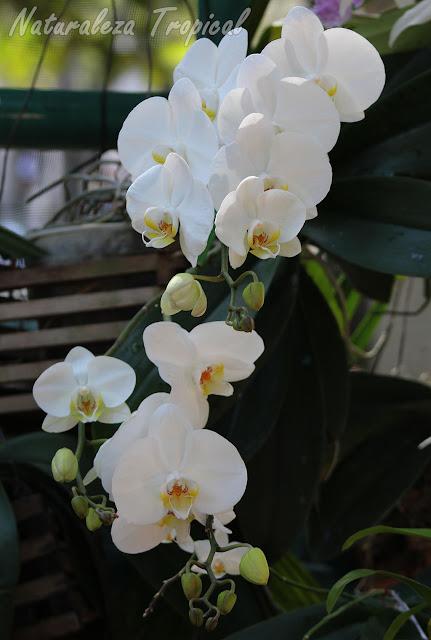 Pétalos y sépalos totalmente blancos y labelo blanco con tonos amarillos. Orquídea Mariposa (género Phalaenopsis)