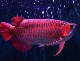 Bentuk Tubuh Ikan Arwana Yang Bagus