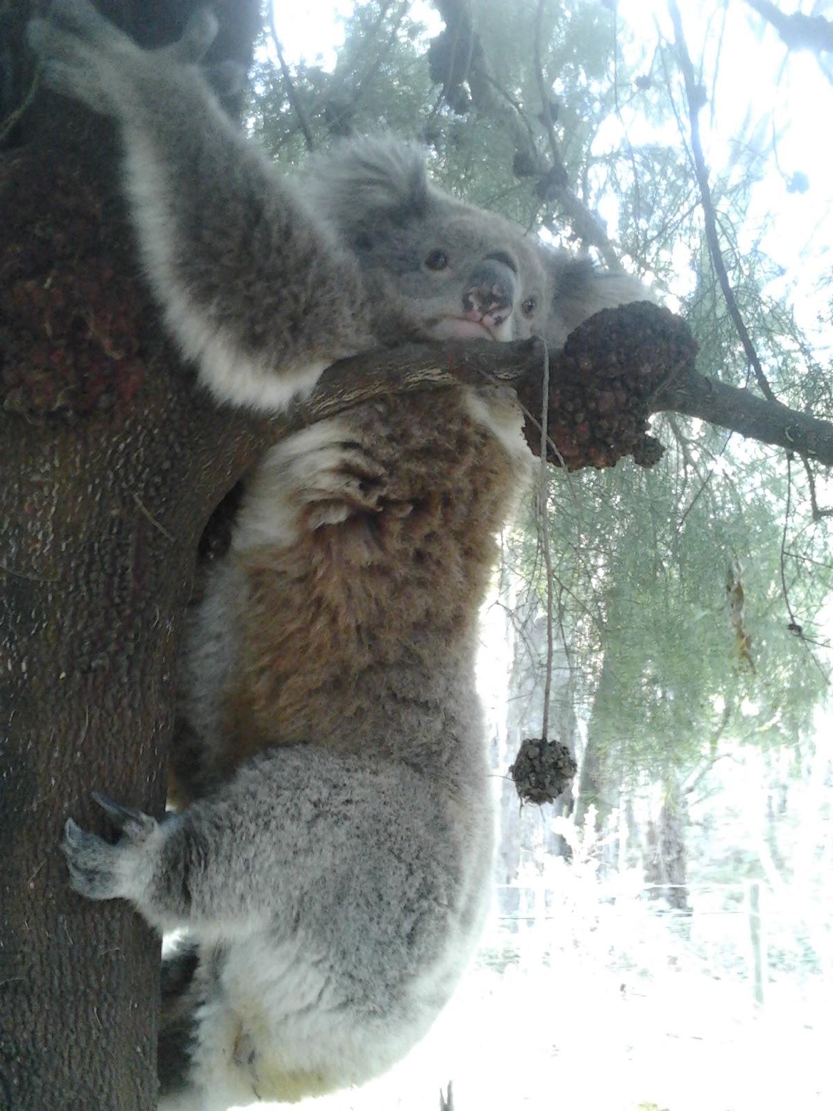 Koala bear on a very hot day