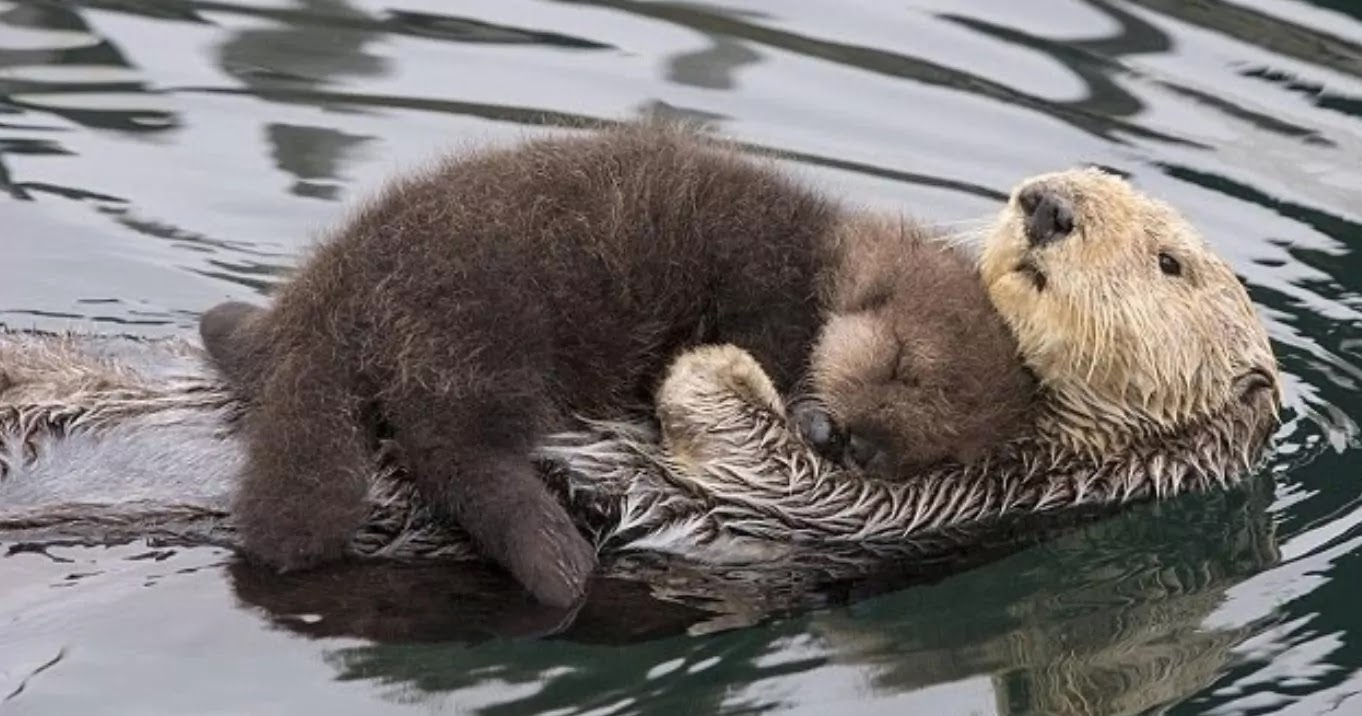 Pictures Show Mother Otter Keeping Her Baby Dry On Her Chest