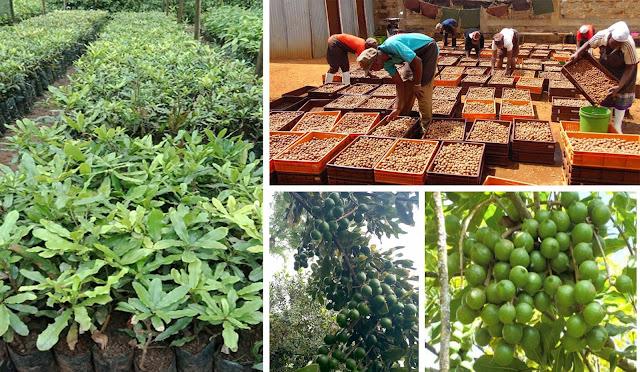macadamia farming activities in Kenya