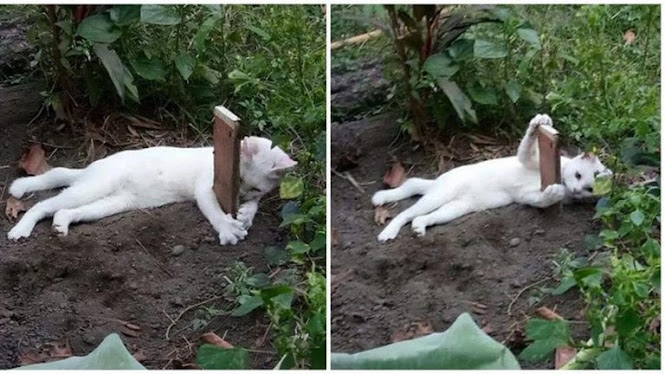Kucing Ini Peluk Nisan Kuburan Adiknya Yang Tewas Akibat Ditabrak Motor