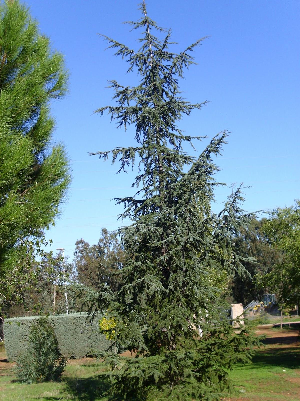 Trees Planet: Cedrus atlantica - Atlas Cedar