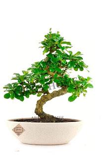 buy bonsai tree online