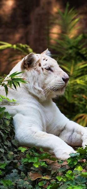 خلفية نمر ابيض يجلس وسط الغابة الخضراء
