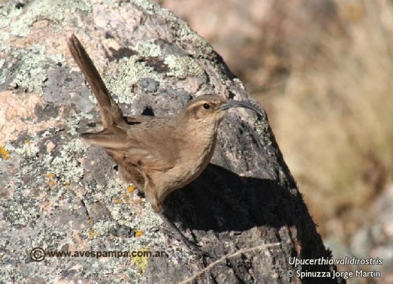 Bandurrita andina, Upucerthia validirostris