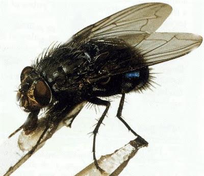 mosca azul de botella Calliphora vomitoria
