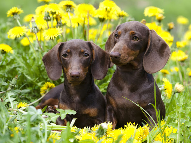 Cute Dachshund puppies in a flower meadow
