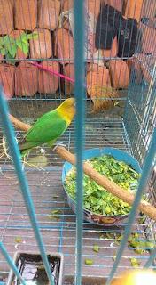 Racikan Pakan Lovebird Ternak Yang Sederhana dan Berkualitas