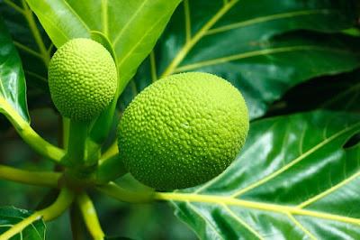 14 Manfaat buah, daun, & akar sukun untuk kesehatan