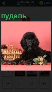 Черный пудель сидит около корзинки на полу с букетом цветов и корзиной рядом