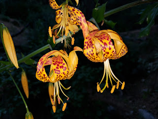 Photograph of Lilium humboldtii flowers