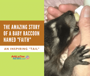 "The amazing story of a baby raccoon named ""Faith"" at Hochatown Petting Zoo"