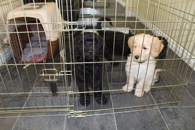 Puppies in fenced kennel
