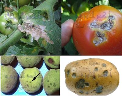 مسببات المرض والموت عند النباتات - الأعداء الخطرة - البكتيريا